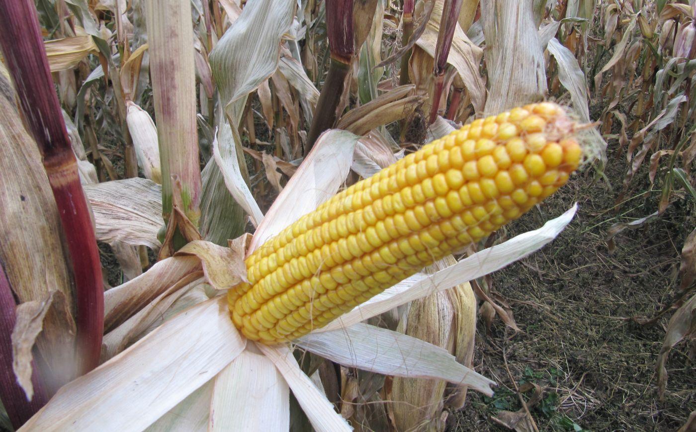 kukurūzų prekybos sistema