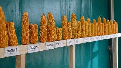 kukurūzų prekybos sistema)